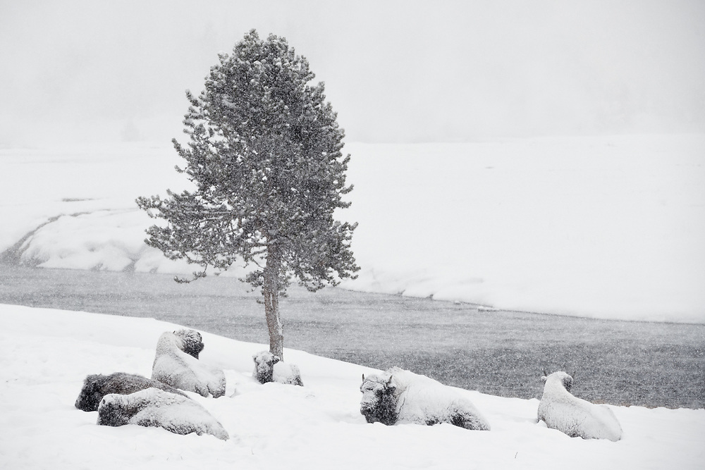 A group of bison lay covered in snow on an early morning in Yellowstone