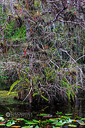 Blad cypress tree with bromeliads in swamp at Big Cypress National Preserve, Florida, USA