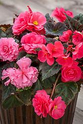 Begonia x tuberhybrida 'Non Stop Mocca Pink'