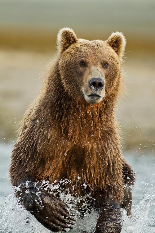 USA, Alaska, Katmai National Park, Grizzly Bear (Ursus arctos) running while fishing in salmon spawning stream along Kukak Bay in late summer