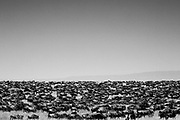 The Great Migration in The Serengeti. Watching this natural wonder of a sea of nearly 2 million wildebeest, escorted by over 250,000 zebra around the Serengeti and Masai Maara , following the rains and food supply. No wonder it was chosen as one of the first natural World Heritage Sites.
