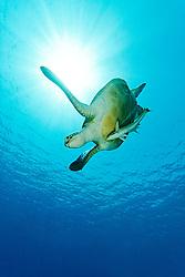 Chelonia mydas, Gruene Suppenschildkroete, Green Sea Turtle, Seaturtle, Marsa Mubarak, Marsa Alam, Rotes Meer, Ägypten, Red Sea Egypt