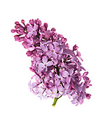 Flowers of heirloom lilac shrub (Syringa vulgaris)