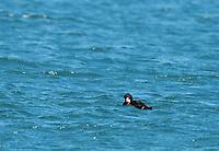 Surf Scoter, Melanitta perspicillata, swimming in Bodega Bay, California