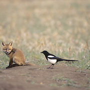 Red Fox, (Vulpus fulva) Kit sitting withBlack-billed  Magpie (Pica pica) next to him. Spring. Montana.