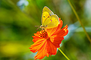 A yellow butterfly on an orange flower, Backlit with the sun projecting through the wings, the Orange Sulphur, Colias eurytheme, Southwestern Ohio, USA