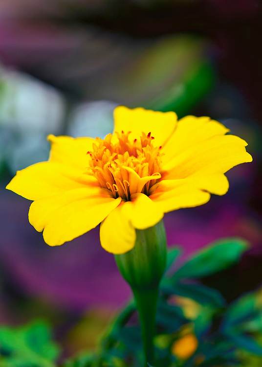 A Vibrant Yellow Flower From The Garden