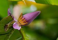 Musa velutina, an ornamental pink banana flower in The Tower Garden, St. Paul's, Grenada, the Caribbean, West Indies