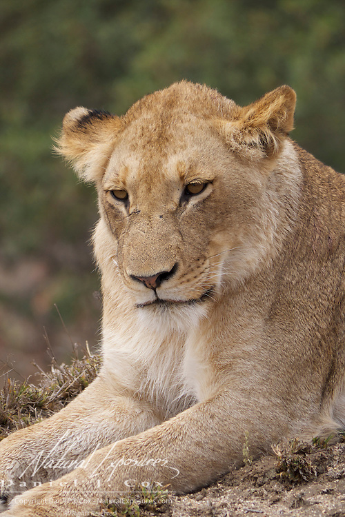 Portrait of young African lion. MalaMala Game Reserve. South Africa.