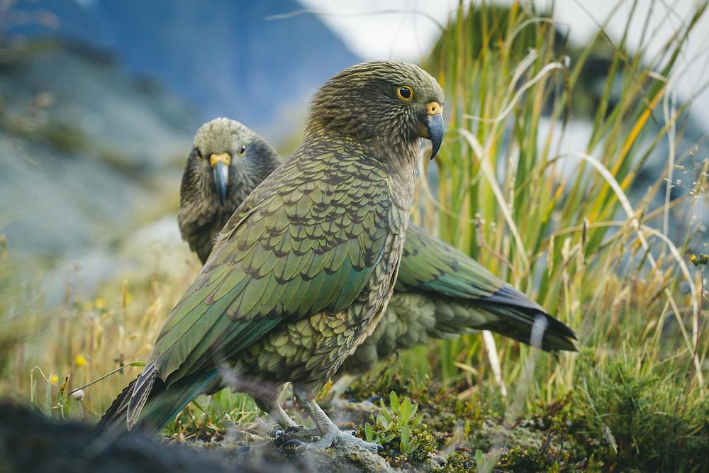 A pair of kea (Nestor notabilis) evaluating chances of stealing from a backpack, Aoraki/Mount Cook National Park, New Zealand Ⓒ Davis Ulands | davisulands.com