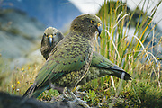 A pair of kea (Nestor notabilis) evaluating chances of stealing from a backpack, Aoraki/Mount Cook National Park, New Zealand Ⓒ Davis Ulands   davisulands.com