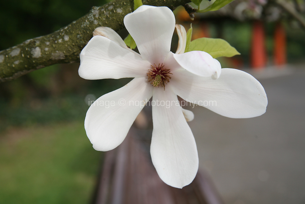 Close up of a magnolia tree flower opening