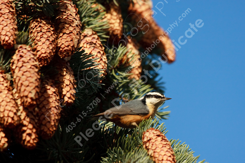 Although Red-breasted Nuthatches are fairly common thoughout Alberta, I've seen very few of them.  So I was pretty happy to find several of them snacking in an evergreen at Inglewood Bird Sanctuary...©2009, Sean Phillips.http://www.Sean-Phillips.com