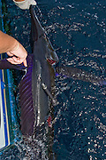 Swimming White Marlin with fresh scar along the side of the boat prior to being released.  This fish has been fitted with a Satellite tag.