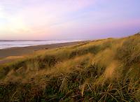Coastal Dunes and tall dune grasses, Point Reyes National Seashore CA.