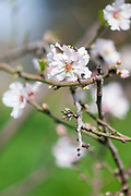 Almond blossom (Prunus dulcis) Photographed in Israel in February This tree flowers before it produces leaves