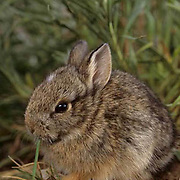 Mountain Cottontail, (Sylvilagus nuttalli) Portrait of very young bunny in foothills of Bridger Mountains. Montana.  Captive Animal.