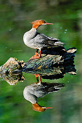Merganser reflected in a pond