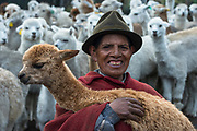 Quichua Indian Man & Alpacas (Vicugna pacos)<br /> Pulingue San Pablo community<br /> Chimborazo Province<br /> Andes<br /> ECUADOR, South America