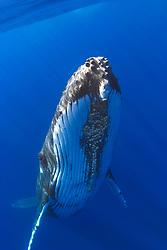 humpback whale, Megaptera novaeangliaenote parasitic acorn barnacles, Cornula diaderma, Hawaii, Pacific Ocean