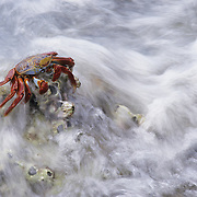 Sally Lightfoot Crab (Grapsus grapsus) near Baja in the Gulf of Mexico.