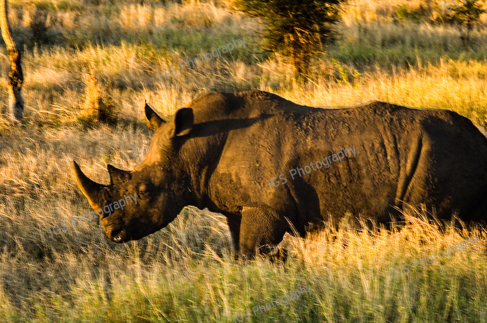 White Rhino Grazing at Sunset in Kruger National Park South Africa