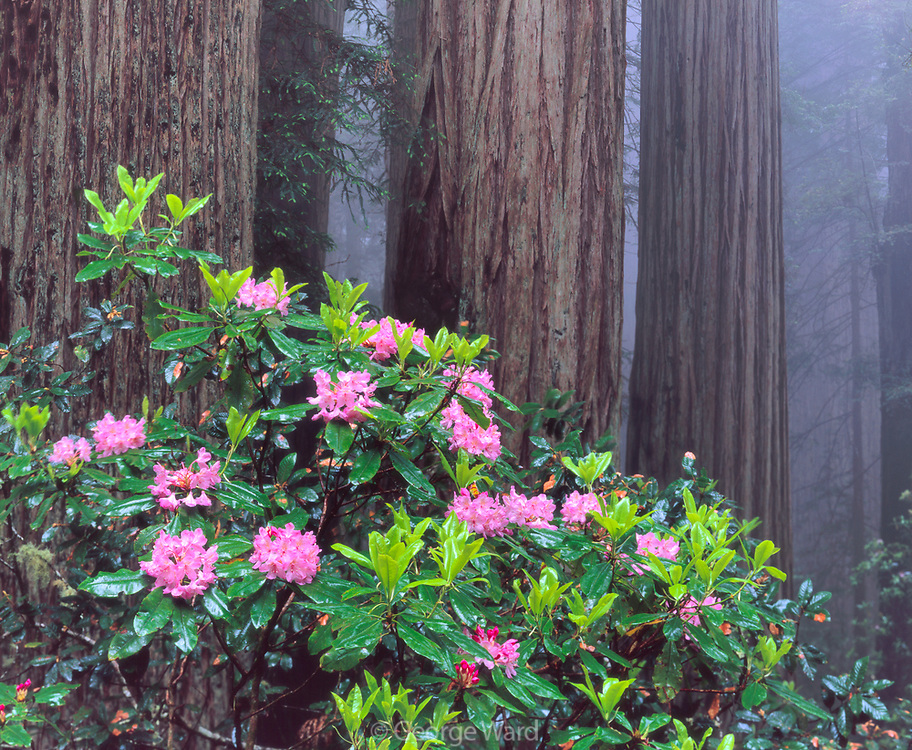 Rhododendron and Coast Redwood,Del Norte Coast Redwoods State Park,Redwood National Park, California
