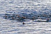 Gentoo penguins (Pygoscelis papua) on Danco Island or Isla Dedo an island off Antarctica, 1 nautical mile (2 km) long lying in the southern part of Errera Channel,