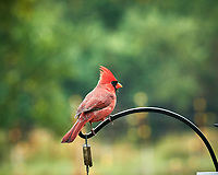 Northern Cardinal. Image taken with a Nikon D850 camera and 200 mm f/2 VR lens.
