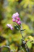 Lambkill (Kalmia angustifolia) blooming in the Eagle Hill Bog on Campobello Island, New Brunswick.