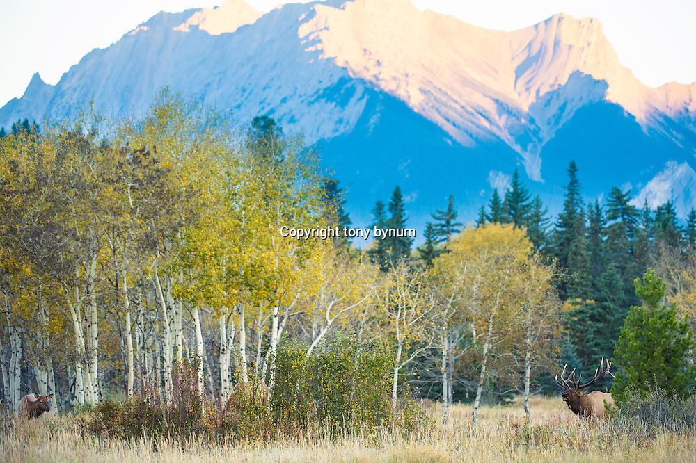 large bull wapiti elk and cow elk in fall colors with mountain background