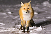 Red Fox in Cooke City, Montana.