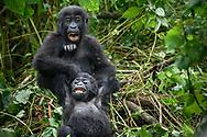 Zwei verspielte Jungtiere des Östlichen Flachlandgorillas (Gorilla beringei graueri), Kahuzi-Biega Nationalpark, Süd-Kivu, Demokratische Republik Kongo<br /> <br /> Two playful juveniles of the Eastern Lowland Gorilla<br />  (Gorilla beringei graueri), Kahuzi-Biega National Park, South Kivu, Democratic Republic of the Congo