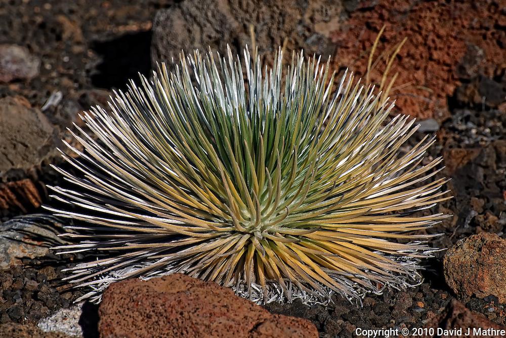 Haleakala Silversword Plant. Image taken in Haleakala National Park. Image taken with a Nikon D3x and 70-300 mm VR lens (ISO 100, 220 mm, f/8, 1/640 sec)