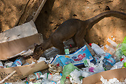 Fossa in rubbish (Cryptoprocta ferox)<br /> Kirindy<br /> Southwestern Madagascar<br /> MADAGASCAR<br /> ENDEMIC