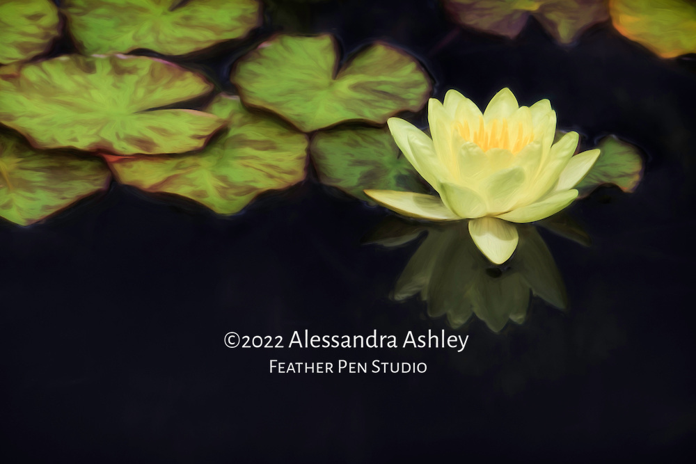 Yellow lemonade colored waterlily growing in garden pond, with reflection and lily pads.