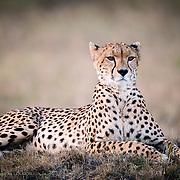 Cheetah mother known as Malaika, Maasai Mara