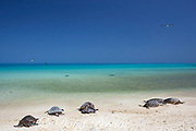 Hawaiian green sea turtles or honu, Chelonia mydas ( Threatened Species ), basking on beach, with Laysan albatrosses flying overhead, Turtle Beach, Sand Island, Midway Atoll National Wildlife Refuge, Papahanaumokuakea Marine National Monument, Northwest Hawaiian Islands, USA, Central Pacific Ocean