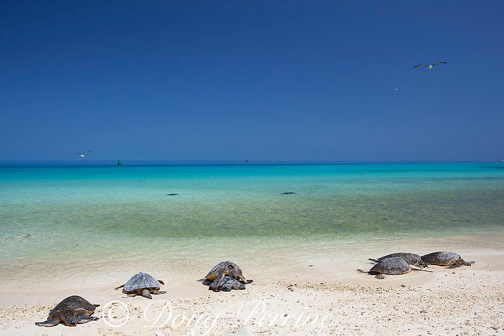 Hawaiian green sea turtles or honu, Chelonia mydas ( Threatened Species ), basking on beach, with Laysan albatrosses flying overhead, Turtle Beach, Sand Island, Midway Atoll National Wildlife Refuge, Papahanaumokuakea Marine National Monument, Northwest Hawaiian Islands, USA, Central Pacific Ocean