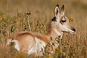Pronghorn doe lying in grass