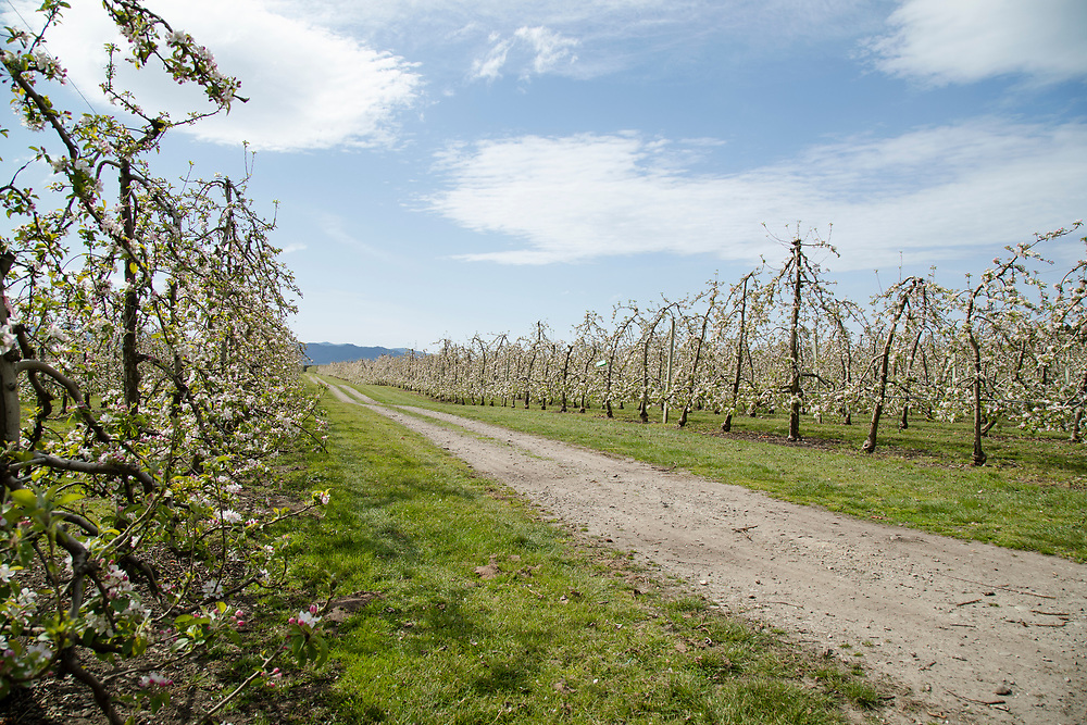Looking down a roadway between rows of apple trees in blossom
