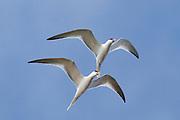 Pair of Elegant Terns in sychronized flight as part of a courtship ritual.(Sterna elegans).Bolsa CHica Wetlands,California