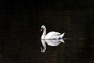 A Mute swan (Cygnus olor) swims along the shoreline at Fulford Harbour on Salt Spring Island, British Columbia, Canada.  Mute Swans are not native to Salt Spring Island and are considered an invasive species  in North America.