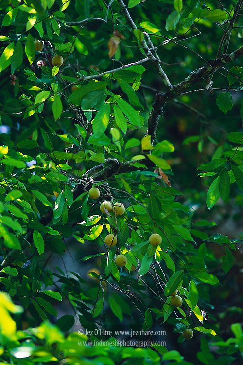 Nutmeg, Lontar Island, Banda, Maluku, Indonesia.
