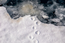 Footprints On Icefloe, Lemaire Channel, Antarctica