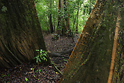 Buttress Roots<br /> Rain Forest<br /> Mapari<br /> Rupununi<br /> GUYANA<br /> South America