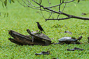 Savannah Side-necked Turtle (Podocnemis vogli) sunbathing & Carib Grackle (Quiscalus lugubris)<br /> CITES II  due to habitat loss mainly near urban areas and over hunting especially in the Llanos.<br /> Hato Masaguarel working farm and biological station, Guárico Province, VENEZUELA. South America.<br /> L average 23-36cm, Wgt 2kg. Females larger than males. They dig shallow nests in sandy soil, often far from nearest water source.  7-13 eliptical eggs 40x25mm in size.<br /> They are diurnal spending sunny morning out on logs and nights in the water semi submerged in mud. They are omnivorous, consuming seeds, leaves, aquatic plants, fish, insects & suspended material in water.<br /> HABITAT: Lagoons, swamps, Moriche palm swamps, generally not preferring larger rivers.<br /> RANGE: Llanos & Orinoco of Colombia, Venezuela.<br /> The Llanos are flood plains stretching north of the Orinoco River to the Andean foothills, covering 300,000sq km in Venezuela and another 220,000 sq km in Colombia. This area has poor soil but is rich in its river systems which floods in the wet season leaving shallow marshes which nourish a high concentration of birds and animals.