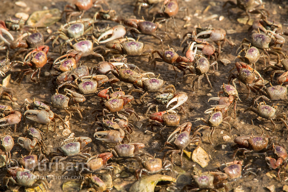 A colony of Red-jointed or brackish water fiddler crabs (Uca minax) in Timucuan Ecological and Historic Preserve, Florida.