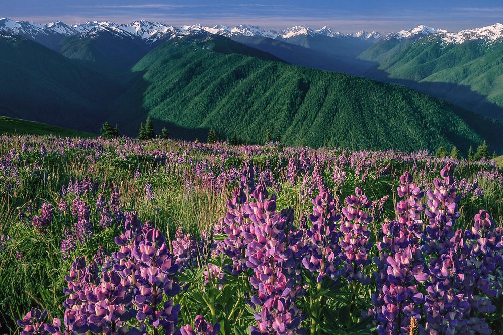 Lupine wildflowers and Olympic Mountains, summer, Hurricane Ridge, Olympic National Park, Washington, USA