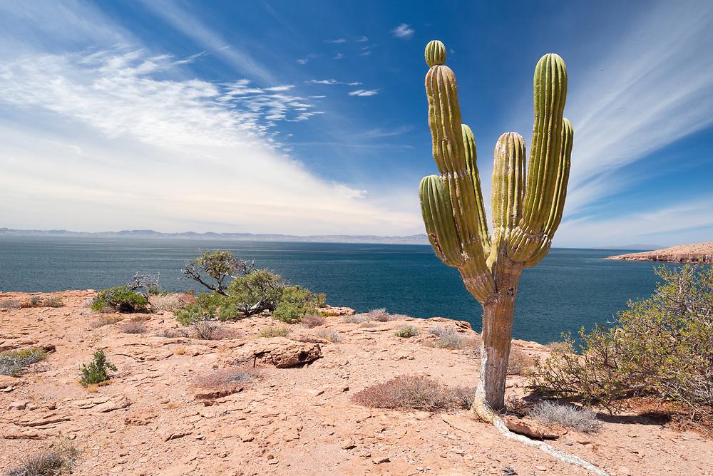 Cardón cactus on Espiritu Santo Island, Mexico Baja California Sur, Mexico.